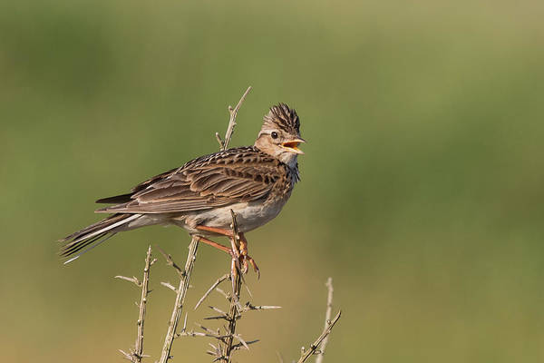 Photograph - The Morning Lark by Wendy Cooper
