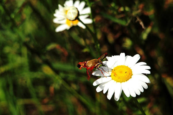 Hemaris Photograph - The Moth And The Daisy by Debbie Oppermann