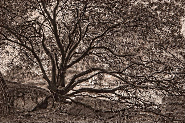 Photograph - The Nature Of Trees In Sepia by Leda Robertson