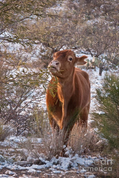 Photograph - The New Years Cow by Donna Greene