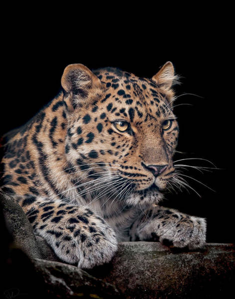 Big Cat Wall Art - Photograph - The Night Watchman by Paul Neville