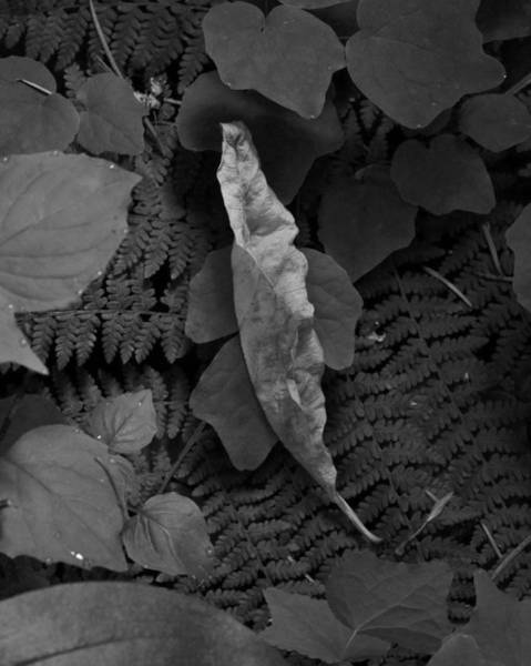 Photograph - The Noble Leaf by Charles Lucas