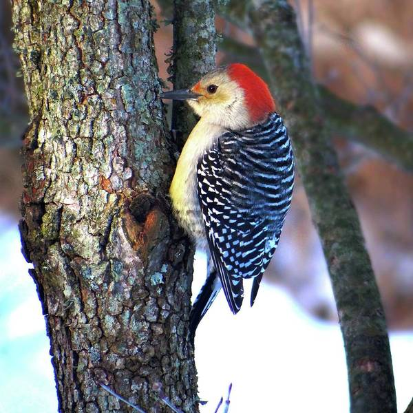 Photograph - The Noisy Red-headed Woodpecker by Jenny Regan