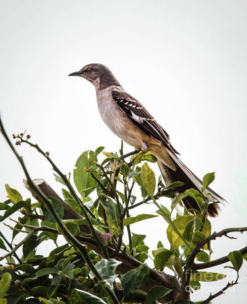 Northern Arizona Wall Art - Photograph - The Northern Mockingbird by Robert Bales