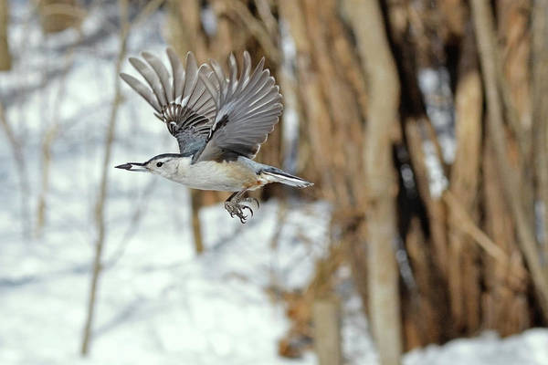 Wall Art - Photograph - The Nuthatch In-flight by Asbed Iskedjian