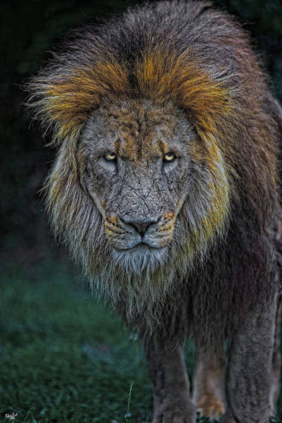 Photograph - The Old Lion by Chris Lord