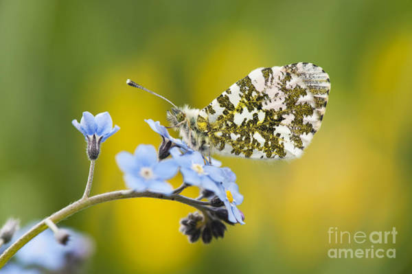 Photograph - The Orange Tip Butterfly by Tim Gainey