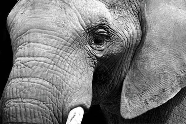 Tusk Wall Art - Photograph - The Pachyderm by Mark Rogan