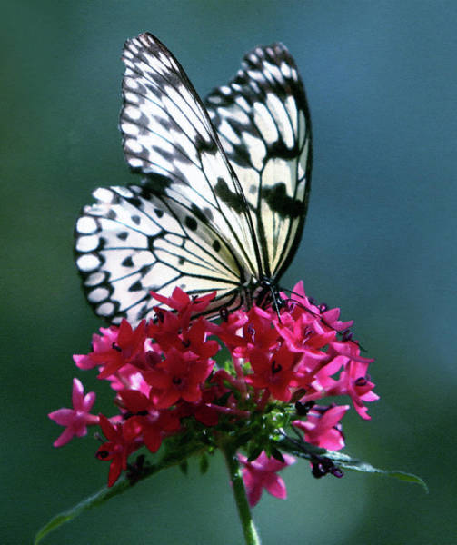 Pink And White Digital Art - The Painted Butterfly by Isabella Howard
