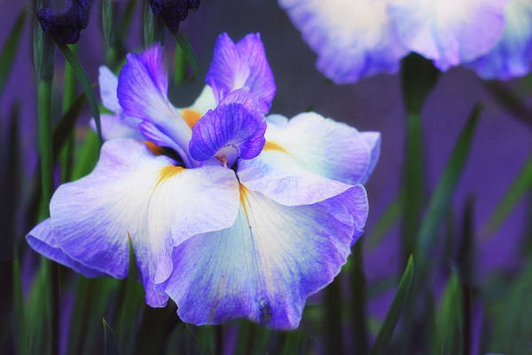 Photograph - The Painted Iris by Jessica Jenney