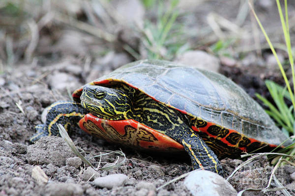 Lethbridge Photograph - The Painted Turtle by Alyce Taylor