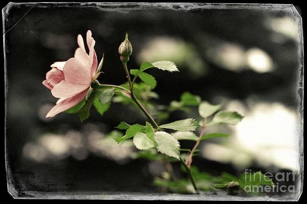 Photograph - The Pale Pink Rose by Donna L Munro