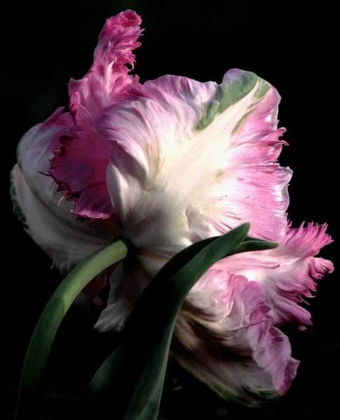 The Parrot Tulip Queen Of Spring Art Print