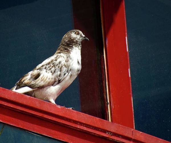 Photograph - The Patriotic Pigeon by Jenny Regan