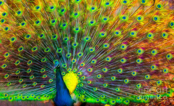 Photograph - The Peacock by Adrian Evans
