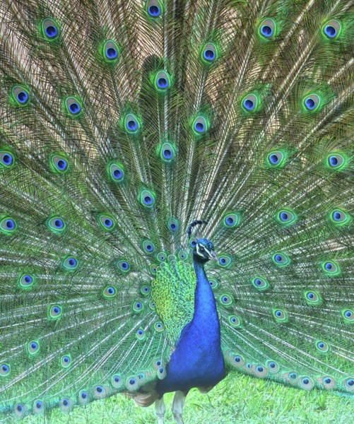 Photograph - The Peacock Angel by Jamart Photography