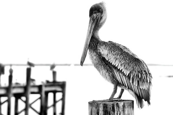 Wall Art - Photograph - The Pelican In Black And White by JC Findley
