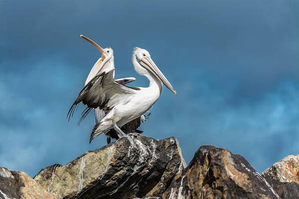 Photograph - The Pelicans by Racheal Christian