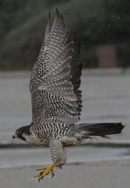 Peregrine Photograph - The Peregrine Falcon by Christopher Kirby