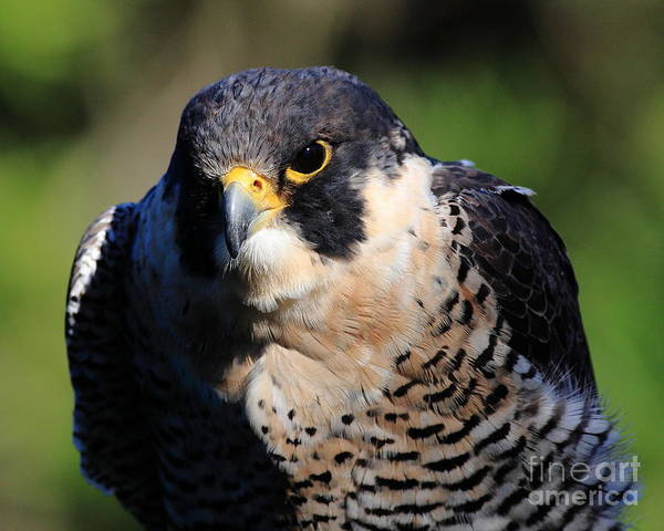 Photograph - The Peregrine Falcon by Wingsdomain Art and Photography