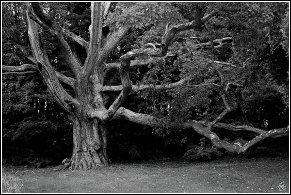 Photograph - The Champion Oak by Wayne King