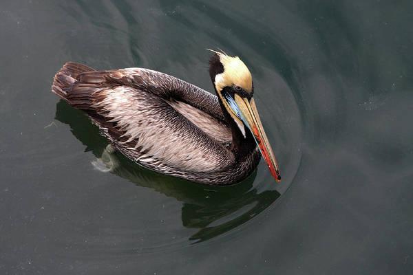 Photograph - The Peruvian Pelican #1 by Aidan Moran