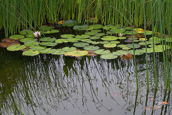 Lily Pads Photograph - The Pond by Rebecca Cozart