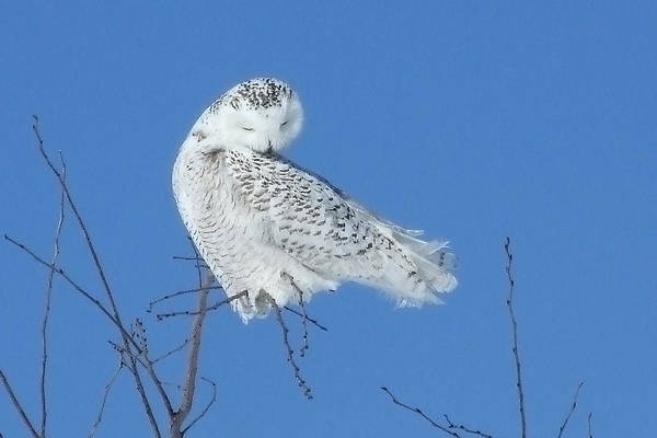 Wall Art - Photograph - The Preening Snowy Owl by Asbed Iskedjian