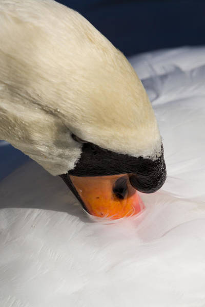 Wall Art - Photograph - The Preening Swan by David Pyatt
