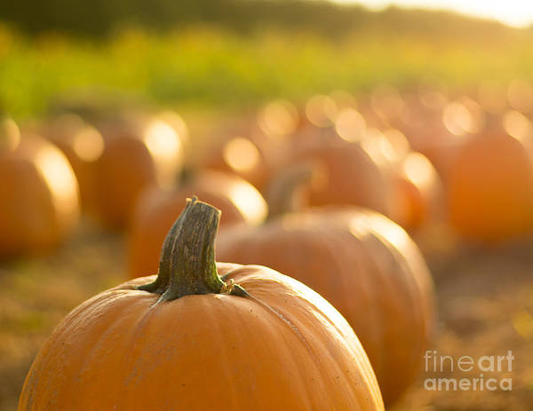 Photograph - The Pumpkin Patch by Alissa Beth Photography