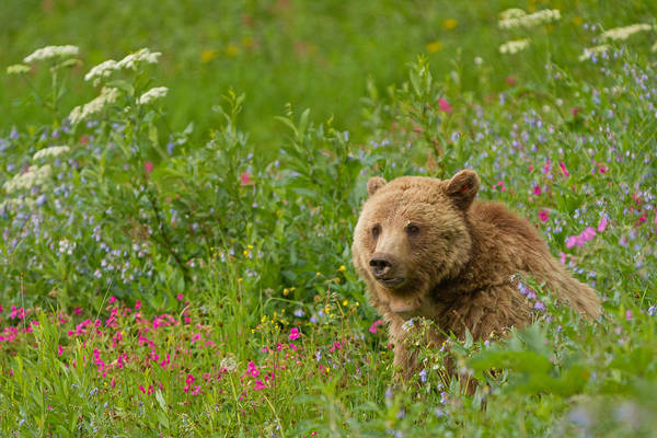 Grizzly Bears Photograph - The Queen Of Dunraven by Sandy Sisti