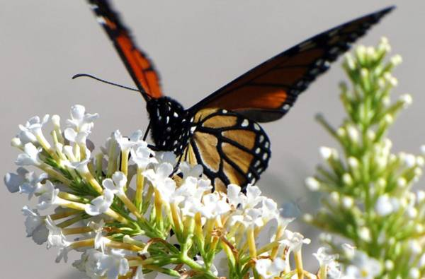Photograph - The Queen by Scott Hovind