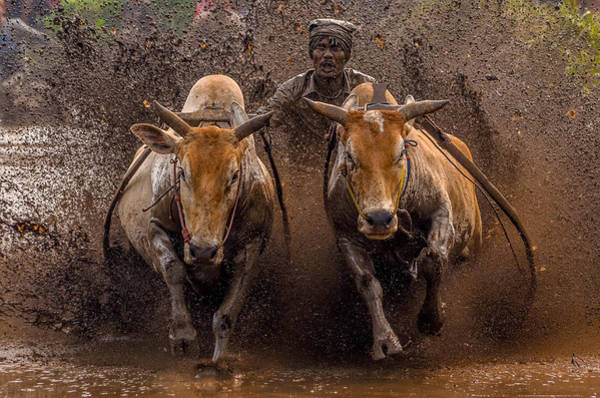Wall Art - Photograph - The Racing Cows by Media Hendriko