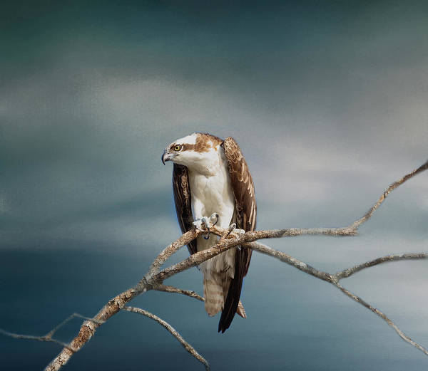Photograph - The Raptor - Osprey by Kim Hojnacki