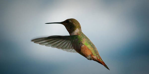 Wing Back Photograph - The Rare Green Backed Male Rufous Hummingbird by David Patterson