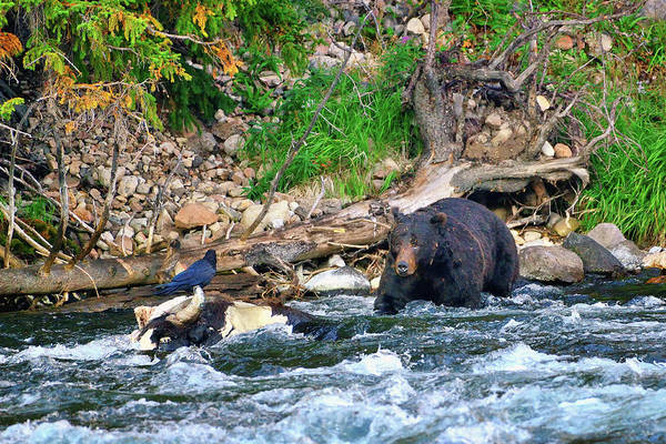 Photograph - The Raven And The Bear by Greg Norrell