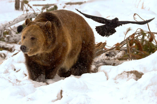 Photograph - The Raven And The Grizzly by Adam Jewell