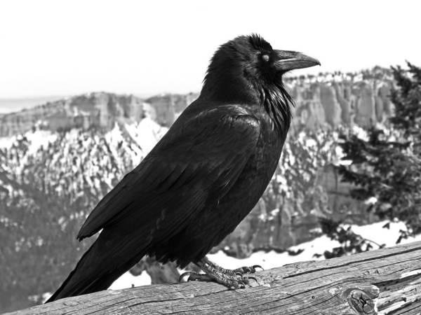 Photograph - The Raven - Black And White by Rona Black