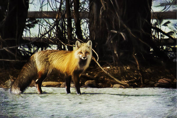 Photograph - The Red Fox by Belinda Greb