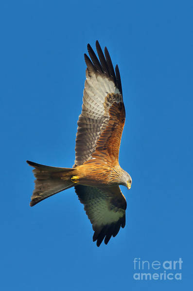 Photograph - The Red Kite - Milvus Milvus by Martyn Arnold