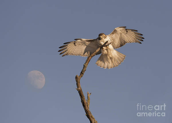 Photograph - The Red Tail Has Landed by Charles Owens