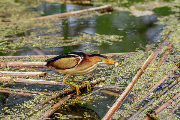 Ixobrychus Photograph - The Reward by Gary Hall