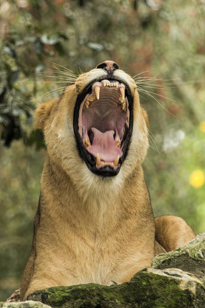 Wall Art - Photograph - The Roaring Lion by Paula Porterfield-Izzo