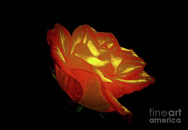 Photograph - The Rose 3 by Camille Pascoe