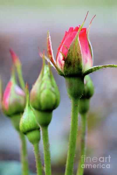 Photograph - The Rose Ballet by Victor K