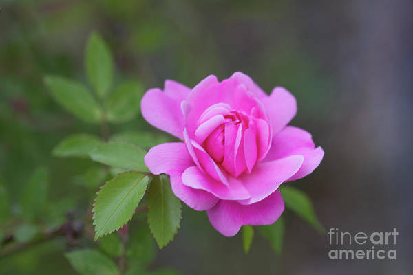 Photograph - The Rose by Donna L Munro
