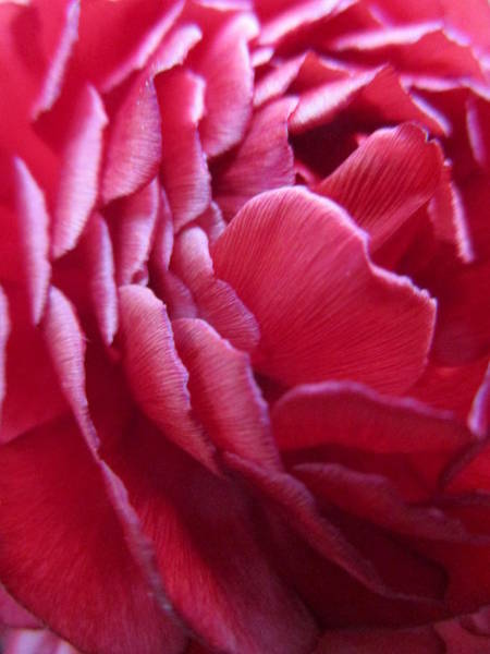 Photograph - The Rose Of The Spring by Rosita Larsson