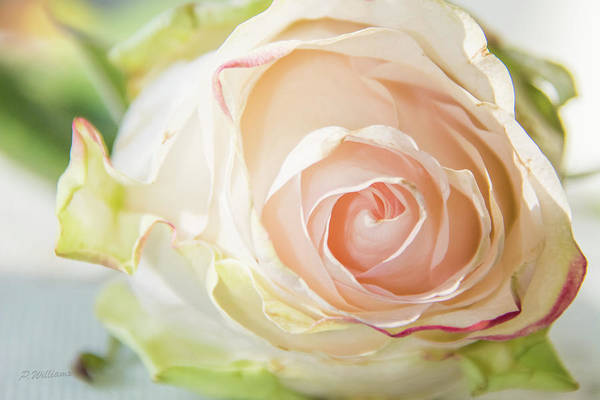 Photograph - The Rose by Pamela Williams