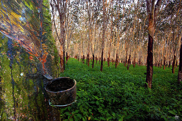 Photograph - The Rubber Tree by Wayne King