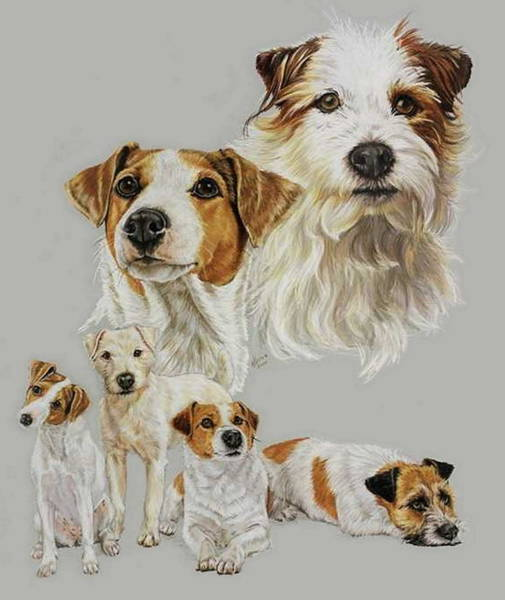 Wall Art - Drawing - The Russel Terrier by Barbara Keith